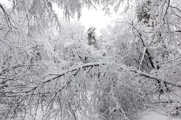 Forêt d'hiver avec des arbres sans feuillage