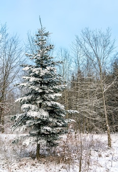 Forêt d'hiver dans les alpes souabes, allemagne