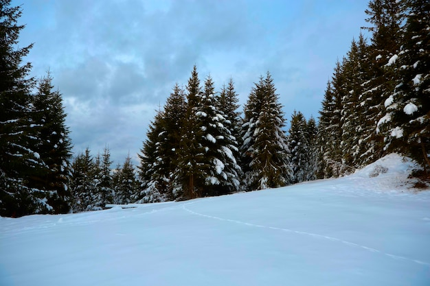 Forêt d'hiver enneigée dans les montagnes, pins, arbres de noël, une route dans la neige entre les arbres