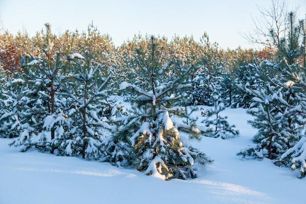 Forêt d'hiver de neige avec de grands pins, des arbres enneigés. forêt de fées d'hiver couverte de neige