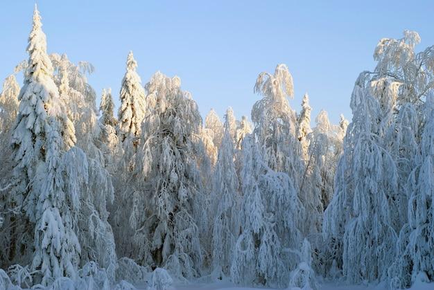 Forêt d'hiver par temps clair après une chute de neige, éclairée par le soleil couchant
