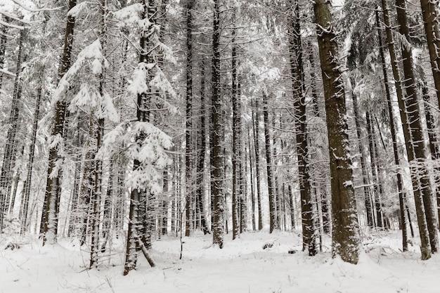 Forêt d'hiver tranquille