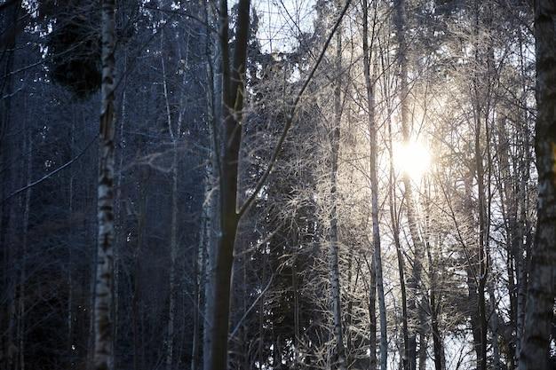 Forêt d'hiver. troncs d'arbres, branches et lumière du soleil