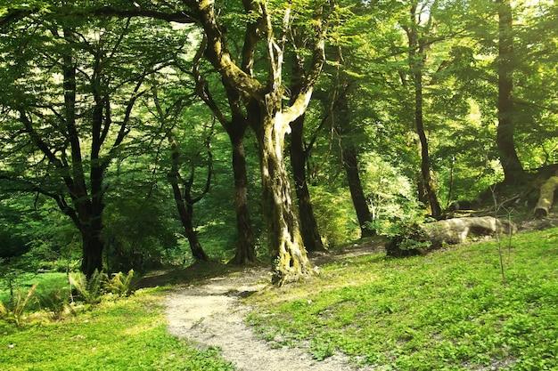 Forêt de montagne d'été. grotte de saint-simon le cananéen. nouvel athos, république d'abkhazie.