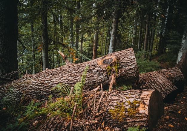 Forêt de montagne de sapin