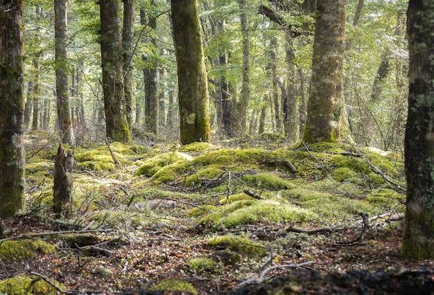 Forêt mystique ancienne avec sol moussu kepler track parc national de fiordland nouvelle-zélande