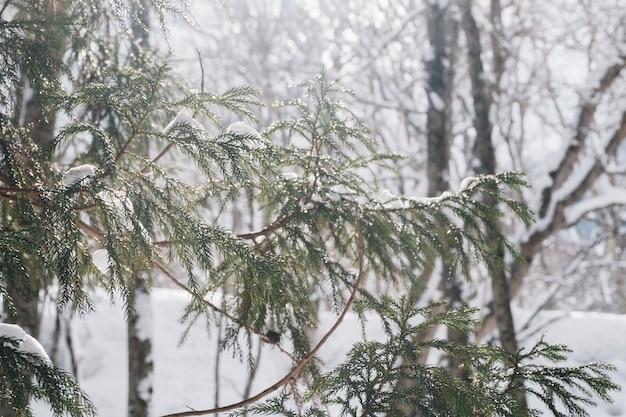 Forêt de neige au sanctuaire de togakushi, japon