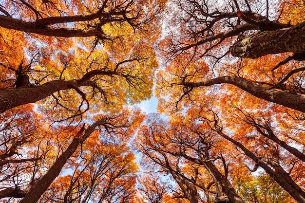 Forêt d'or en patagonie