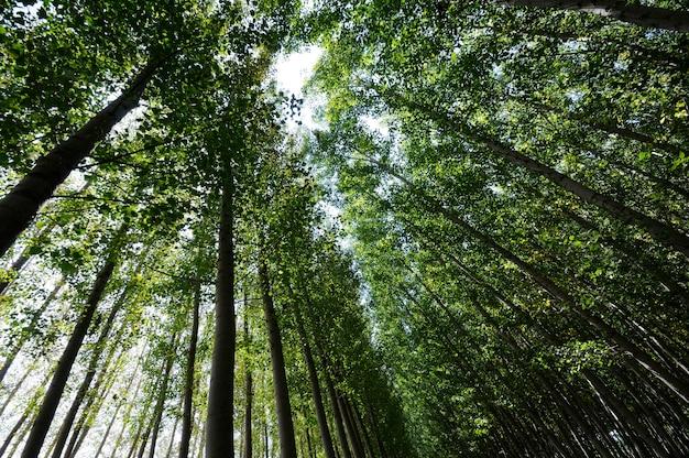 Forêt de peupliers à fuente vaqueros, grenade, andalousie, espagne
