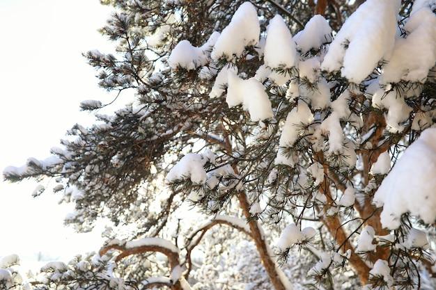 Forêt de pins après une forte tempête de neige par une journée d'hiver ensoleillée