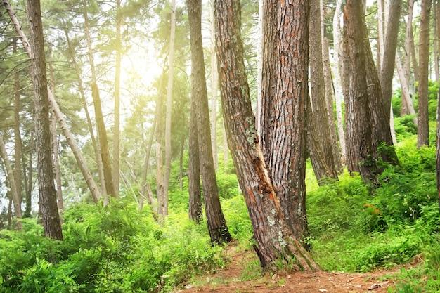 Forêt de pins. arbres reliques (pinus pityusa, pinus brutia, pin turc). gagra, abkhazie.