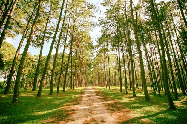 Forêt de pins au printemps, journée ensoleillée.