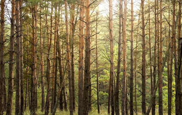 Forêt de pins d'automne. abstrait naturel avec de grands jeunes arbres de pin et quelques feuilles brillantes parmi eux.