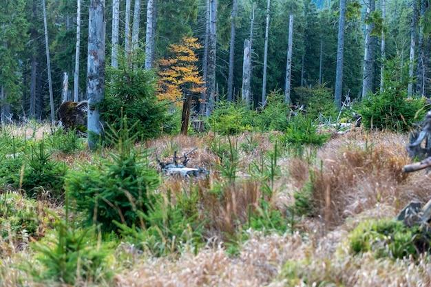Forêt de pins en automne avec de l'herbe sèche sur le versant de la montagne dans une réserve naturelle