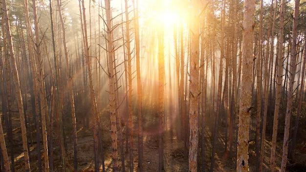 Forêt de pins d'automne mystique avec brouillard jaune