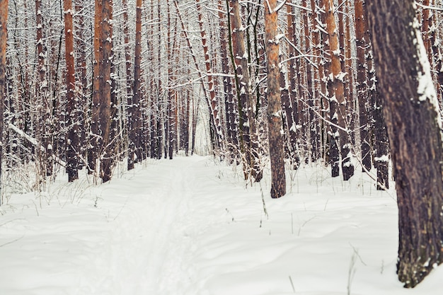Forêt de pins, bois d'hiver. période de noël et décembre