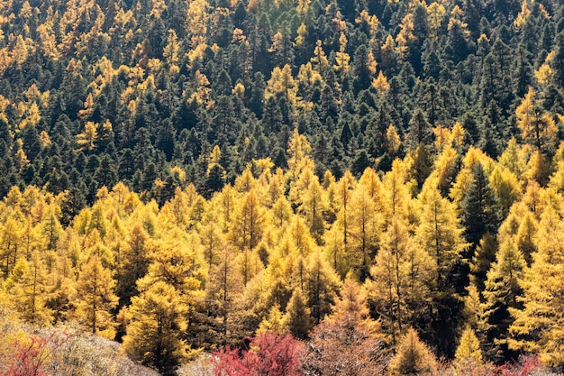 Forêt de pins dorés sur la colline