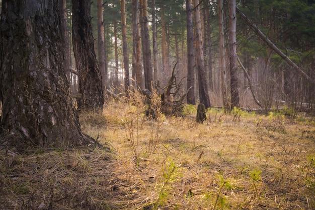 Forêt de pins du matin