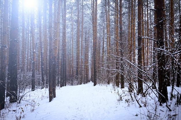 Forêt de pins ensoleillée dans la neige. hiver.