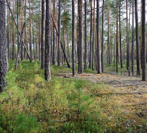 Forêt de pins en été. taïga. sibérie occidentale, russie.