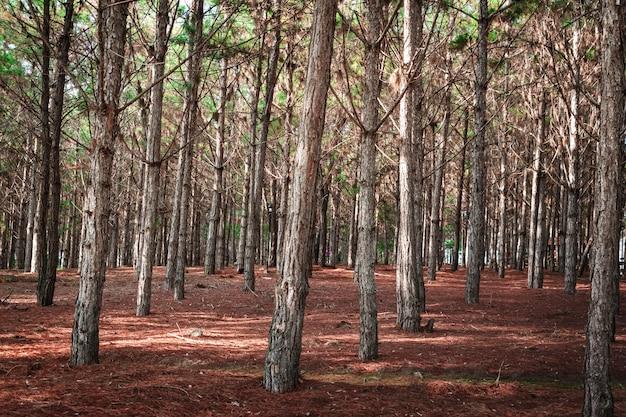 Forêt de pins à feuilles sèches