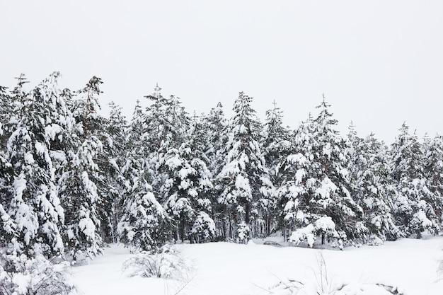 Forêt de pins d'hiver, fond naturel, paysage d'hiver, sensation d'air frais