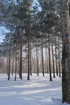 Forêt de pins d'hiver ou parc dans la neige