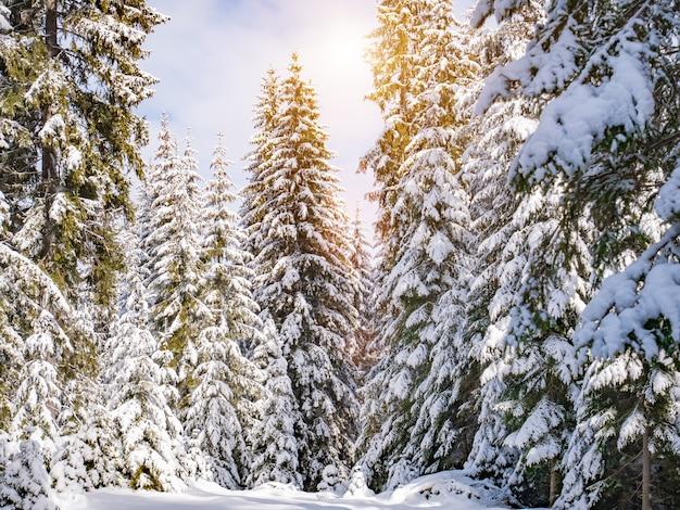 Forêt de pins d'hiver