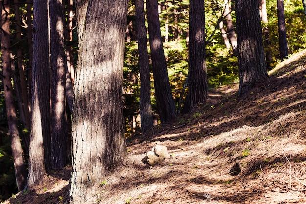 Forêt de pins avec lumière du soleil et ombres