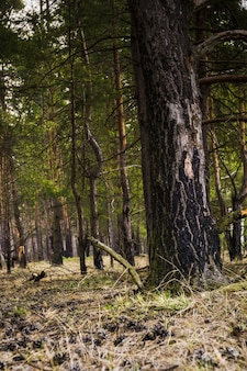 Forêt de pins matin