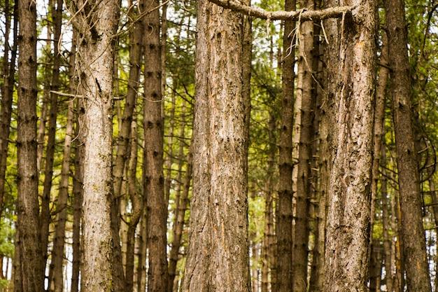 Forêt de pins et paysage sauvage et vue, vue sur les arbres en géorgie