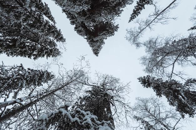 Forêt de pins pittoresque couverte de neige au parc national d'oulanka, finlande