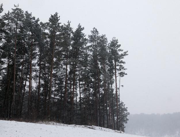 Forêt de pins poussant sur une colline en hiver dans le contexte de laquelle des chutes de neige sont vus tomber de la neige sous forme de taches et de rayures, mauvaise visibilité en raison des chutes de neige