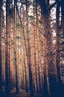 Forêt de pins printemps matin rétro