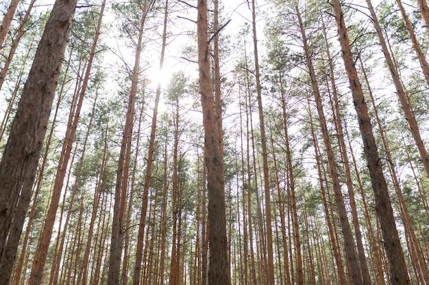 Forêt de pins saison estivale