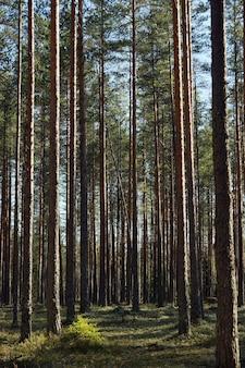 Forêt de pins avec des troncs droits un jour d'été.