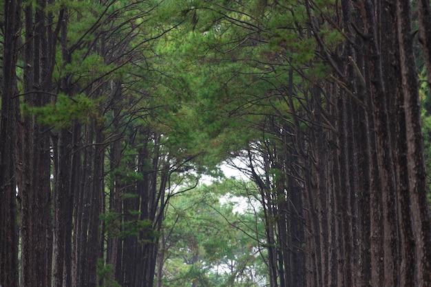 Forêt de pins tropicaux en thaïlande