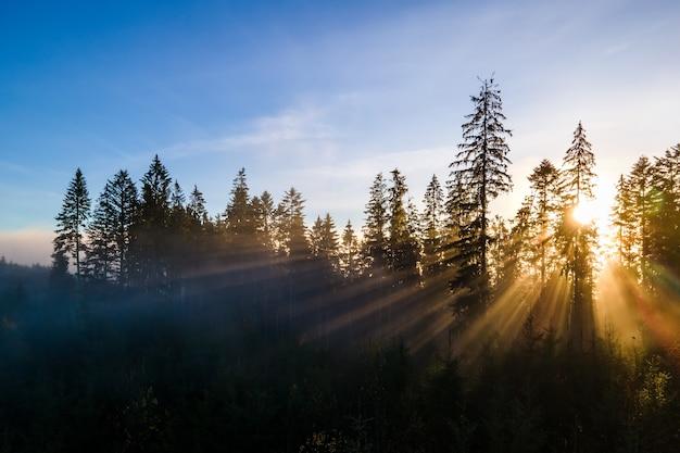 Forêt de pins vert brumeux avec des auvents d'épinettes et des rayons du lever du soleil
