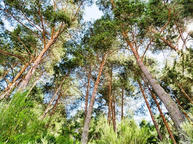 Forêt de pins verts en journée ensoleillée