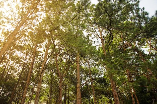 Forêt de pins verts naturels