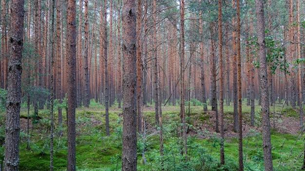 Forêt de pins vue pittoresque. été nature paysage. russie