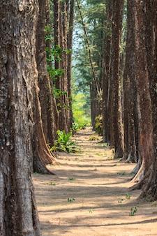 Forêt de pins.