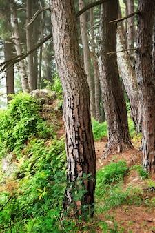 Forêt de pinsgagra abkhazie arbres reliques