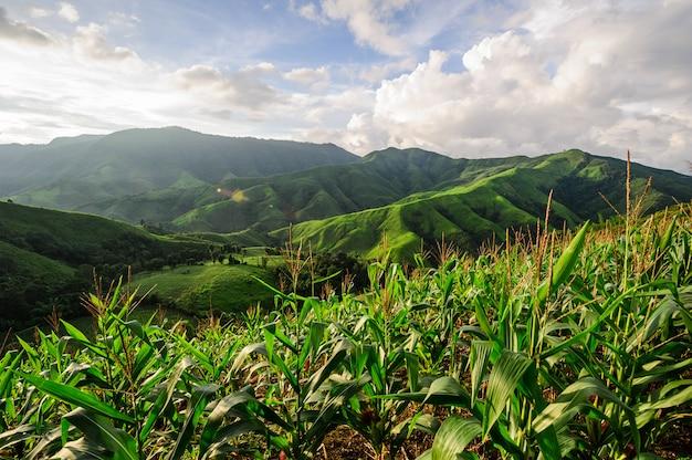 Forêt pluviale remplacée par une plantation de maïs: problème environnemental lié à la déforestation à nan