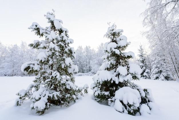 La forêt a recouvert de neige abondante en hiver à la laponie, en finlande.