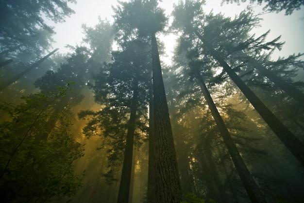 Forêt redwood
