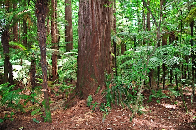 Forêt rouge à rotorua, nouvelle-zélande
