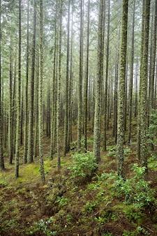 Forêt de sapins à madère, portugal