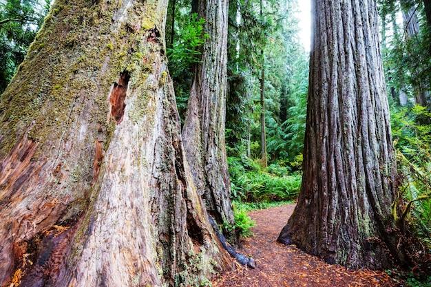 Forêt de séquoias en saison estivale