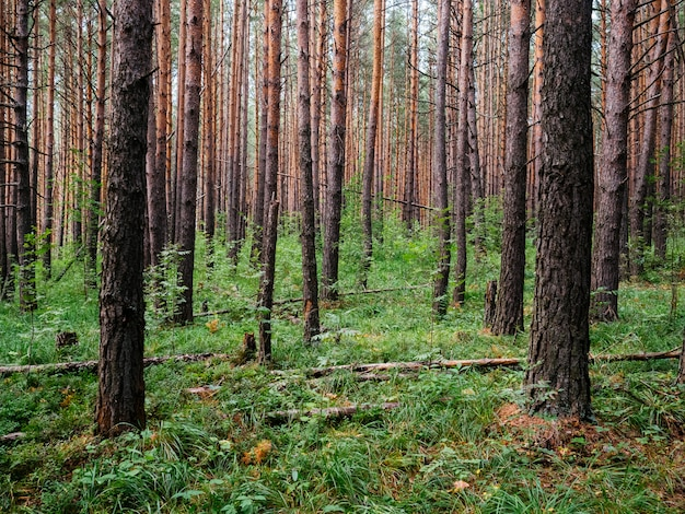 Forêt sombre avec de grands pins. nature de l'oural